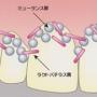 虫歯菌について